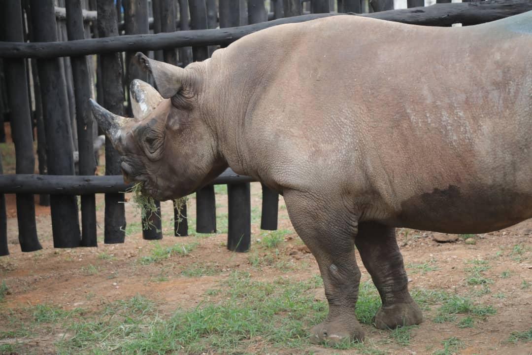 Five black rhinos arrive in Rwanda from Europe