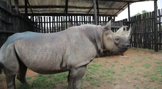 Five black rhinos arrive in Rwanda from Europe